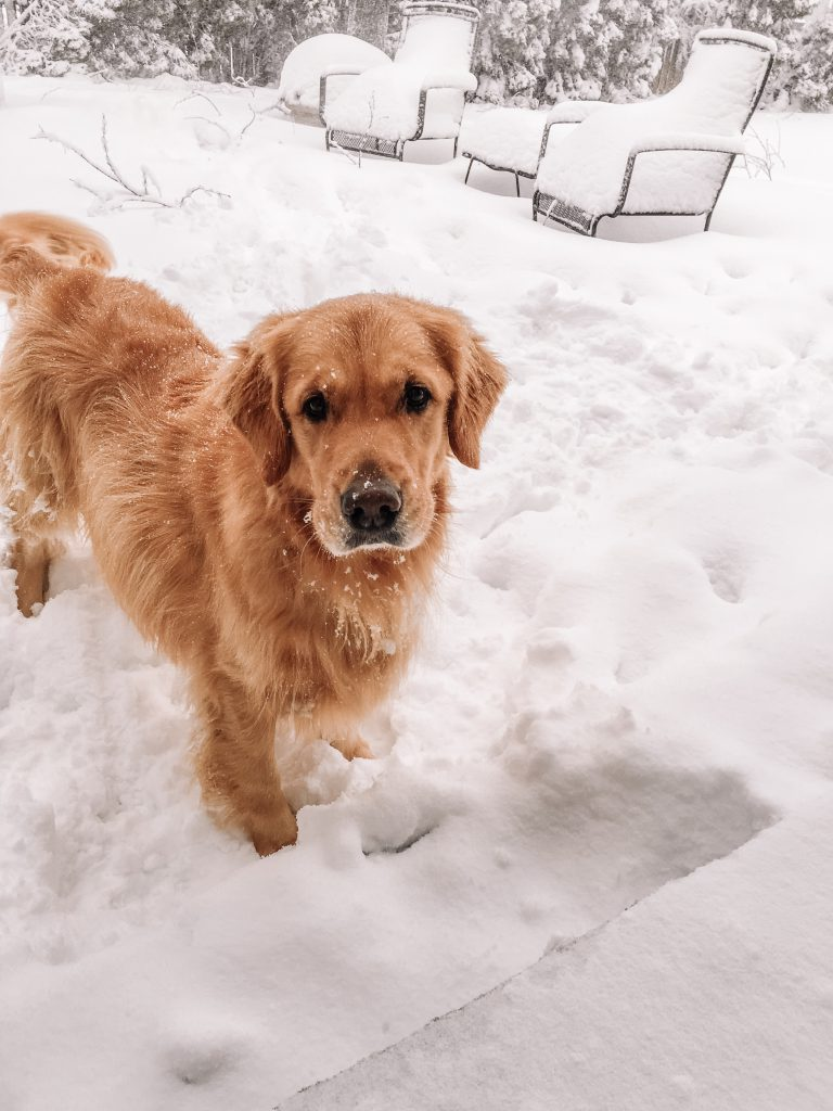 Picture of Golden Retriever in the snow